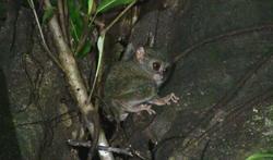 動物:世界最小のメガネザルAnimal:World smallest TARSIER