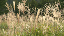 Miscanthus sinensis 001 (stock movie HD material)