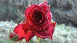 Flowers, roses, and frost-2